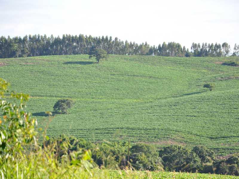 Segundo agrônomo da Emater área plantada no município gira em torno de 500 hectares