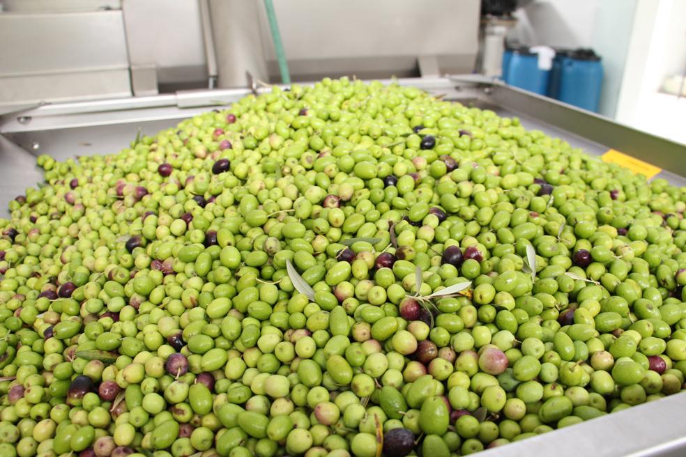 Safra recorde de azeitona na Mantiqueira em 2017, com previsão de 40 mil litros de azeite extravirgem