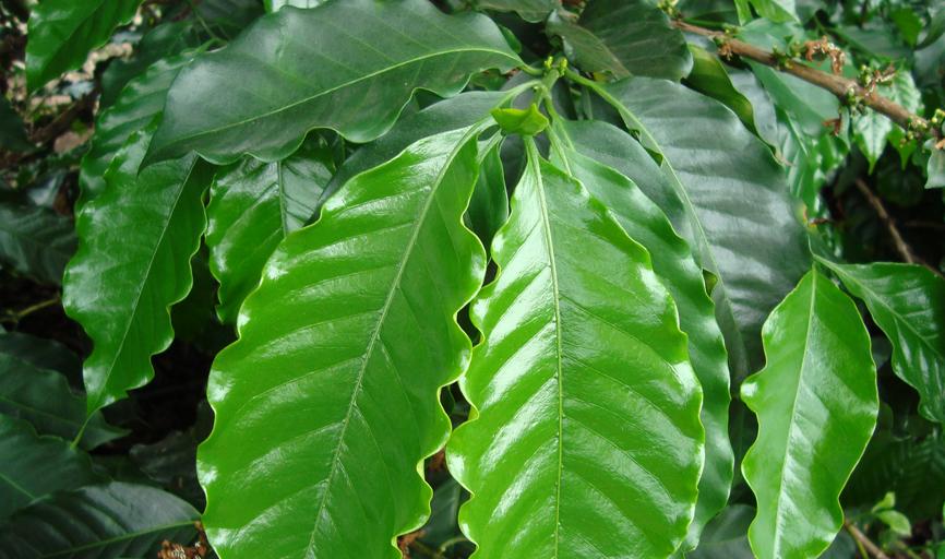 Cobre ajuda a melhorar o sistema foliar das  plantas nas lavoras de café na região de Paraíso