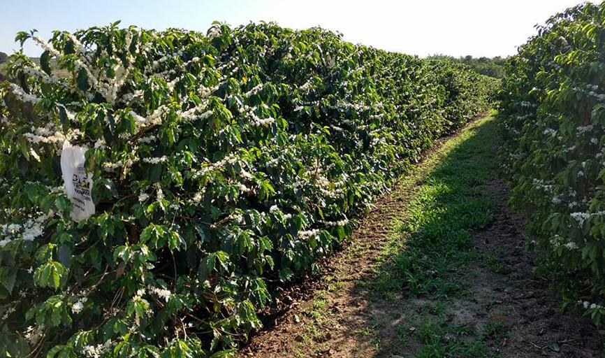 Florada do café ocasiona uma paisagem diferenciada nas lavouras da região de Paraíso