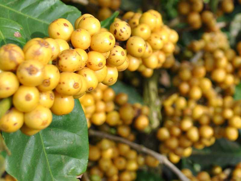 MGS Paraíso 2 está entre as cultivares mais procuradas pelos cafeicultores