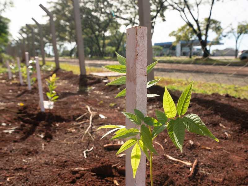 Plantio de mudas de árvores,