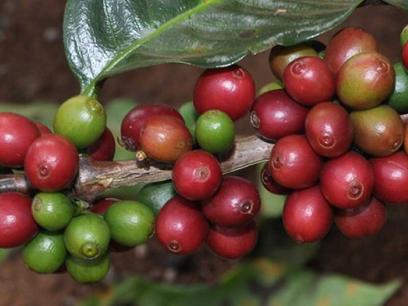 Ganhadores dos melhores cafés produzidos em Minas, nas duas categorias serão conhecidos até o final do ano