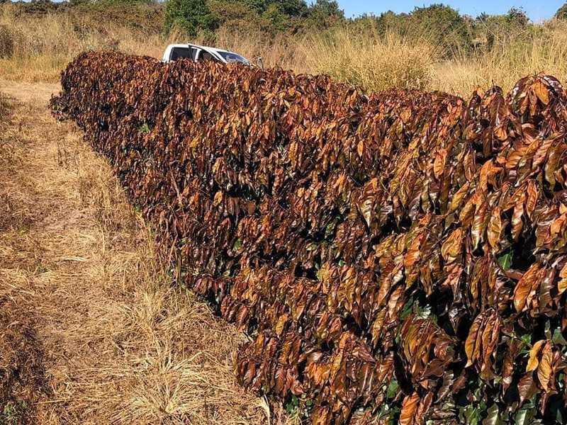 Diversas lavouras de cafés atingidas deverão ser erradicadas em toda a região