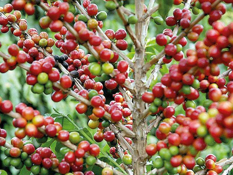 Concurso promovido pela Emater premia os melhores cafés produzidos em Minas Gerais