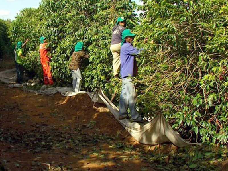Frio intenso registrado nos últimos dias não prejudica a colheita de café