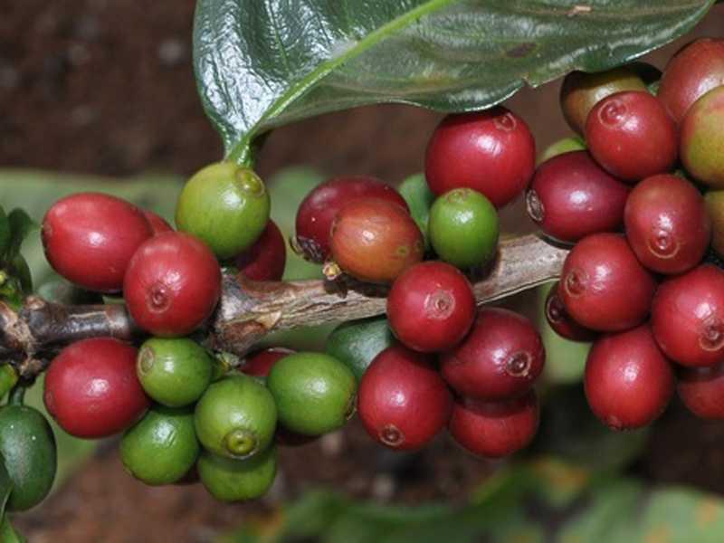 Ganhadores dos melhores cafés produzidos em Minas serão conhecidos até o final do ano
