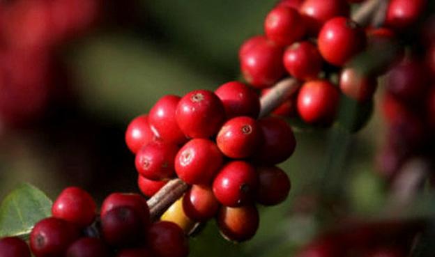 O café, principal produto da pauta de exportações do  agronegócio, representou 41,3% do valor total exportado