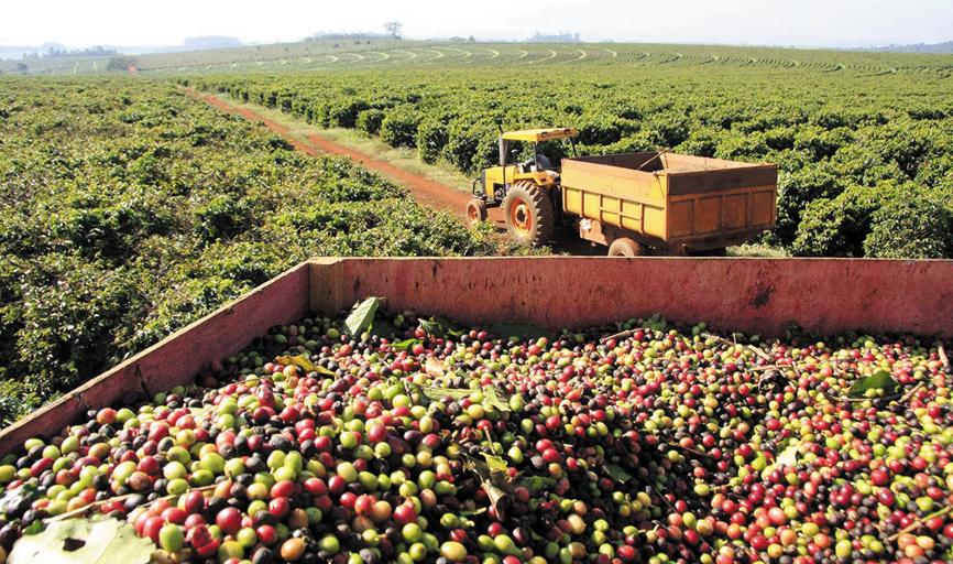 Prevê-se ainda uma colheita nacional de  58,7 até 60,5 milhões de sacas no ciclo
