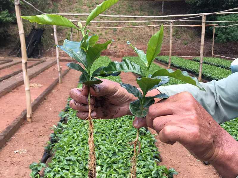 Mudas de café distribuídas pela Sedeagro passaram por processo de classificação