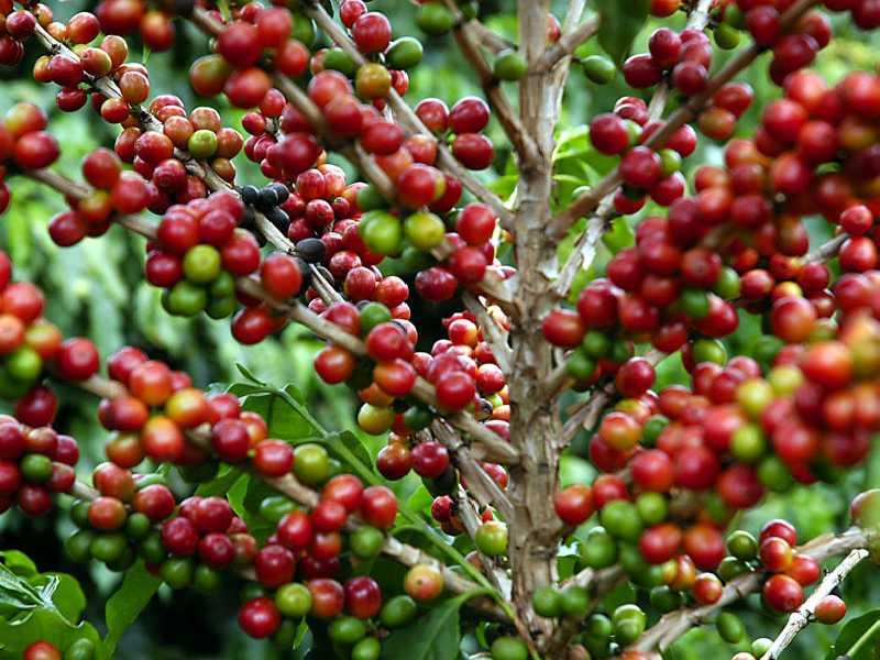 Parte do café produzido em Paraíso teve destino o mercado internacional
