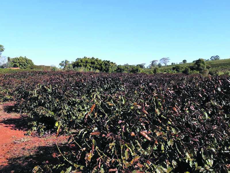 Várias lavouras na região da divisa entre Paraíso e São Tomás de Aquino registram queimadas nas plantas