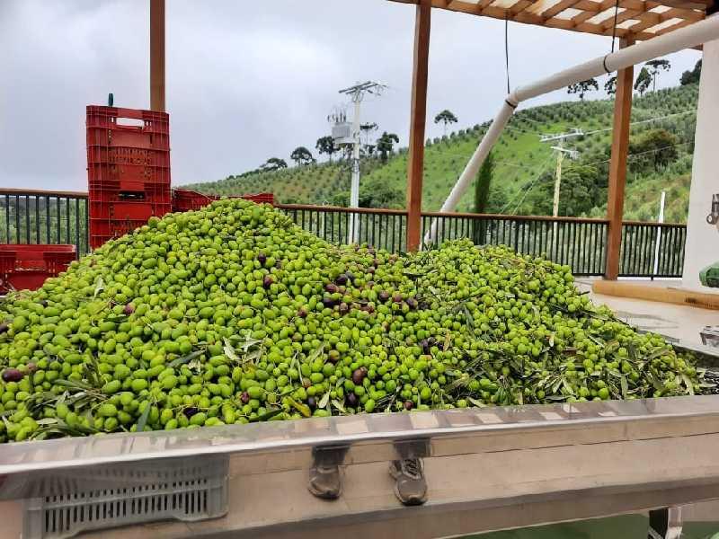 Impulsionada por oscilações climáticas, colheita na Mantiqueira já está em andamento. Segundo especialistas, primeiros azeites produzidos apresentam alto índice de qualidade