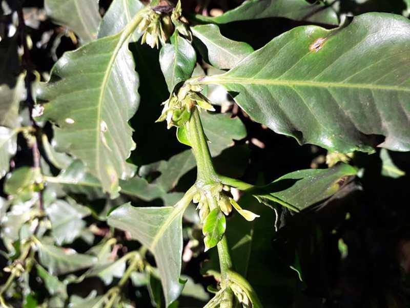 Levantamentos continuam sendo realizados, contabilizando eventuais prejuízos nas regiões produtoras de café