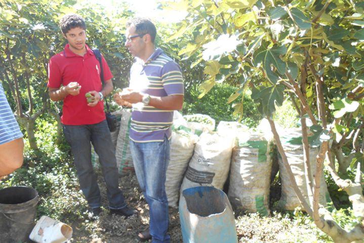 Pesquisadores fizeram visita de campo nas lavouras de figo em 2015